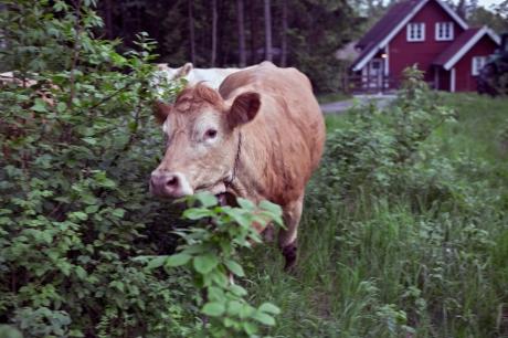 cows3905